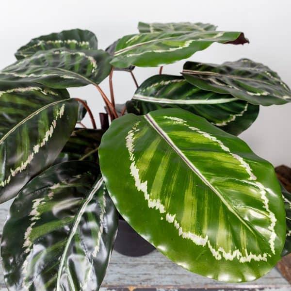Kunstplant-Calathea-45-cm