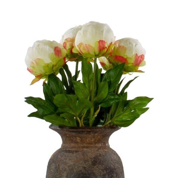 6 pioen rozen dicht creme