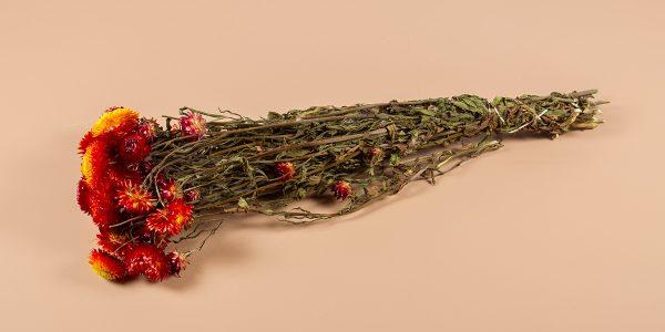 droogbloemen strobloem rood