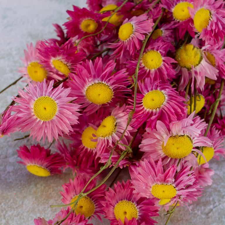 Rodanthe roze 3