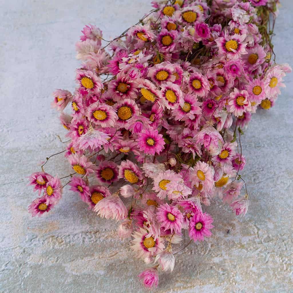 Rodanthe roze