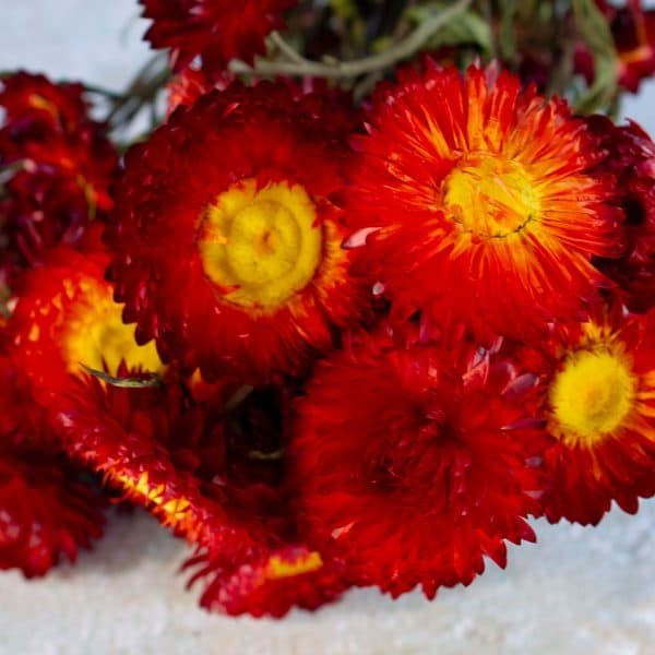 helichrysum strobloem rood 2