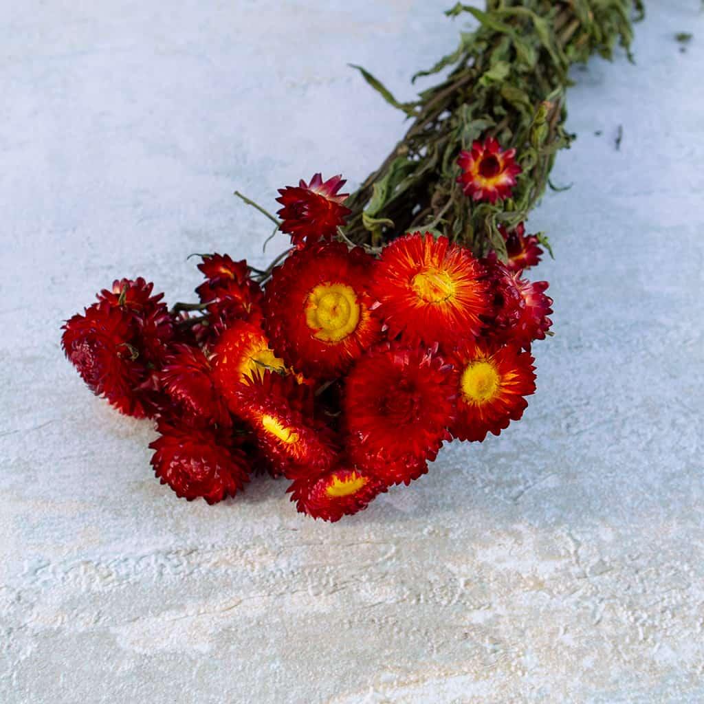 helichrysum strobloem rood