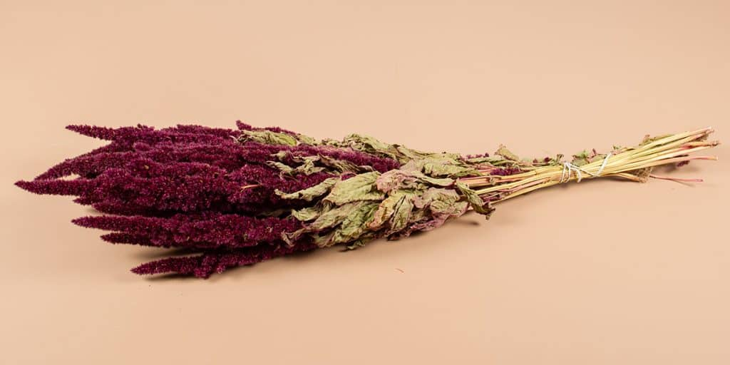 Droogbloemen amaranthus rood