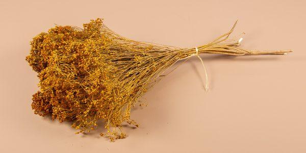 Droogbloemen broom geel