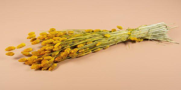 droogbloemen Phalaris geel