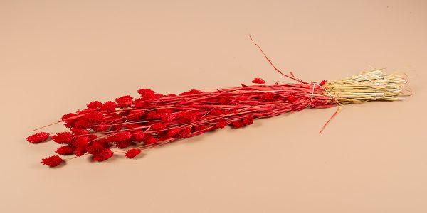 droogbloemen Phalaris rood