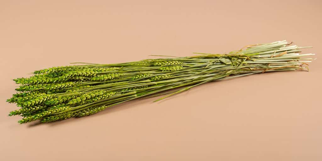 Droogbloemen tarwe groen
