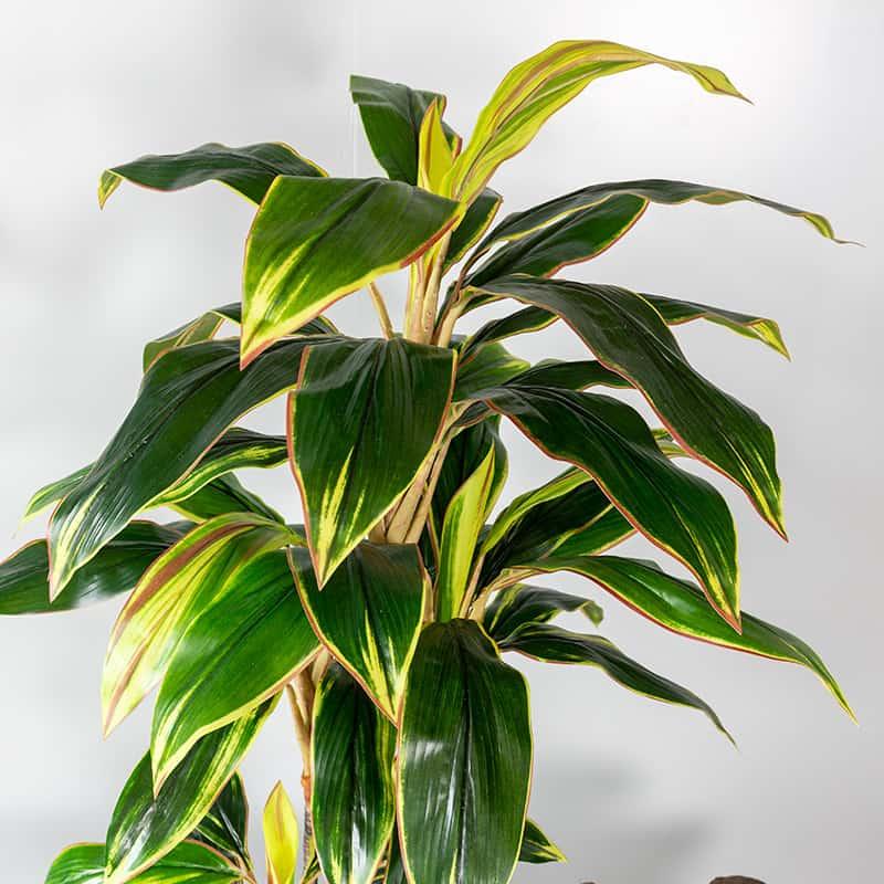 Kunstplant Cordylinefruticosa 100 cm blad