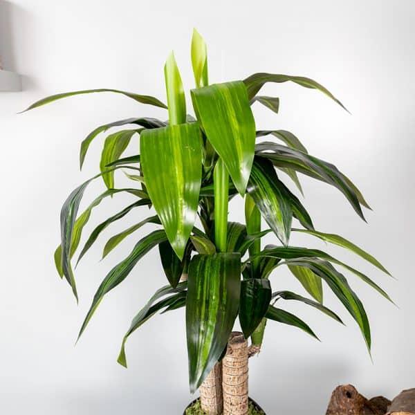 Kunstplant Dracaena fragrans 85 cm blad